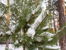Pine branch covered with snow after a snowfall Royalty Free Stock Photography