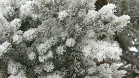 Pine branch covered with snow. On a winter day stock video footage