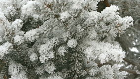 Pine branch covered with snow. On a winter day stock video