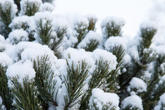 Pine branch covered with snow Royalty Free Stock Images