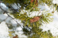 A pine branch covered with white snow, close up. A white snow field on the background Stock Images