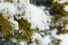 A pine branch covered with white snow, close up. A white snow field on the background Royalty Free Stock Photo