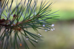 Pine branch with dew drops. Closeup , selective focus Royalty Free Stock Photo