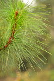 Pine branch and dew Royalty Free Stock Images