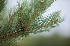 Pine branch with dew water drops Stock Photography