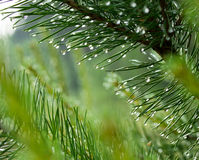 Pine branch with drops of dew Stock Photography