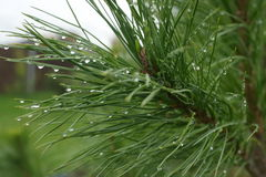 Pine branch with drops after rain Royalty Free Stock Images