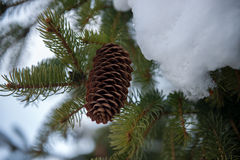 Pine. Branch with fir-cone covered with snow Royalty Free Stock Images