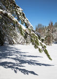 Pine branch in foreground, white snow. Royalty Free Stock Images