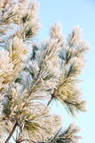 Pine branch in frost Royalty Free Stock Photography