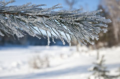 Pine branch in frost Stock Image