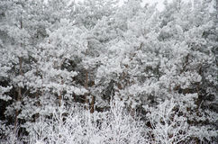 Pine branch in frost winter white Royalty Free Stock Photos