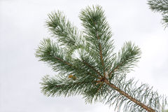 Pine branch on a gray background. Pine branch covered with white snow on a gray background Royalty Free Stock Image