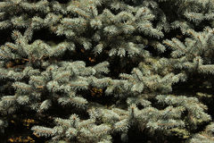 Pine of branch. With green background Royalty Free Stock Photo
