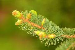 Pine branch on the green background Stock Images