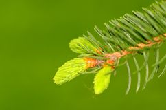 Pine branch on the green background Royalty Free Stock Photo