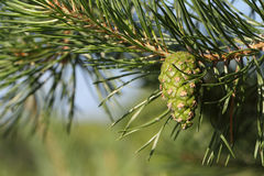 Pine branch with the green cone against foliage Royalty Free Stock Image