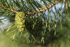Pine branch with the green cone against foliage Stock Images