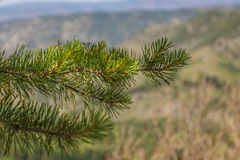 Pine branch with green needles sways in the wind on a background of beautiful mountains. Royalty Free Stock Photo