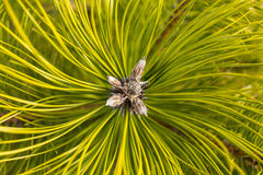 Pine branch with green open top bud close up. Stock Photos