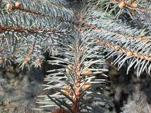 Pine branch. On green tree Royalty Free Stock Photo