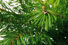 Pine branch Stock Images