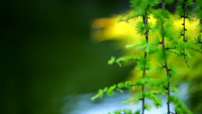 Pine branch green tree over water. Close up stock video footage