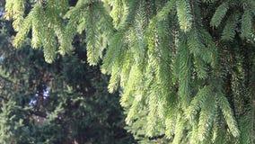 Pine branch, HD stock video