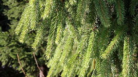 Pine branch, HD stock footage