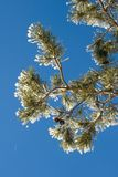 Pine branch with hoarfrost Stock Photo