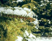 Pine branch with ice Royalty Free Stock Image