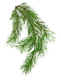 Pine branch isolate on white background without shadows. Spruce. Stock Photo