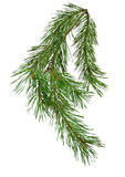 Pine branch isolate on white background without shadows. Spruce. Royalty Free Stock Photos