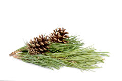 Pine branch isolated Stock Image