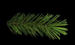 Pine branch isolated on black 3d illustration Stock Photos