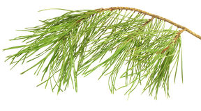Pine branch isolated on white Stock Image