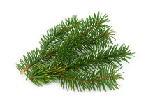 Pine branch Stock Photography