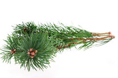 Pine branch Stock Photos