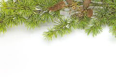 Pine branch. Isolated on white background Stock Photos