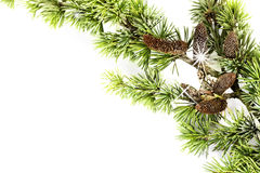 Pine branch. Isolated on white background Royalty Free Stock Photos