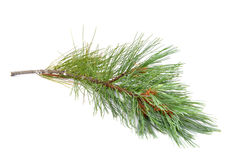 Pine branch isolated on   white background Stock Image