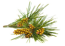 Pine branch isolated on a white background Stock Images