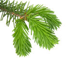 Pine branch isolated on white background. Young branches of pine isolated on white background Stock Images