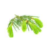 Pine branch isolated on white background. Young branches of pine isolated on white background Royalty Free Stock Photos