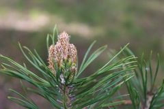 Pine branch with kidney, spring, in natural conditions, daytimme, close-up. Pine branch with kidney, spring, in natural conditions, daytime, close-up, with a stock photo