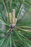 Pine branch with kidney, spring, in natural conditions, daytimme, close-up. Pine branch with kidney, spring, in natural conditions, daytime, close-up, with a royalty free stock photography