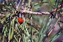 Pine branch with ladybug on it macro close up detail, soft blurry bokeh. Background royalty free stock images