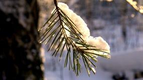 on a pine branch lies a snow cap stock photos