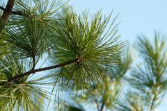 Pine branch with long needles against the blue sky stock photo