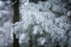 Pine branch with long needles in the frost Stock Images